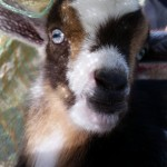 You're really getting my goat!