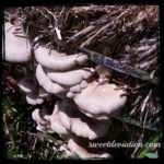 Home Grown Oyster Mushrooms