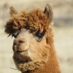 Prepare for the Alpaca…Lips!!!